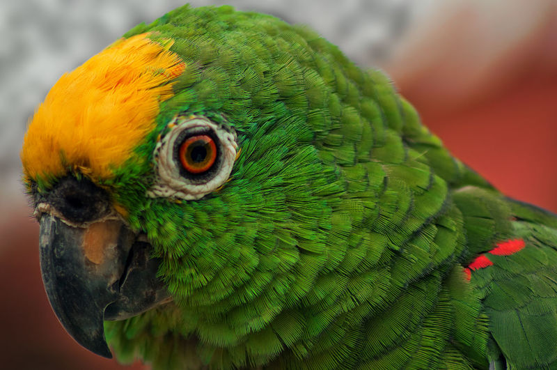 Close-up of yellow-crowned amazon bird
