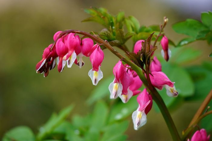 Flower Pink Color Petal Fragility Beauty In Nature Nature Growth Freshness Flower Head Close-up Focus On Foreground Day No People Blooming Plant Outdoors Springtime Tränendes Herz Tadaa Community OpenEdit Bleeding Heart