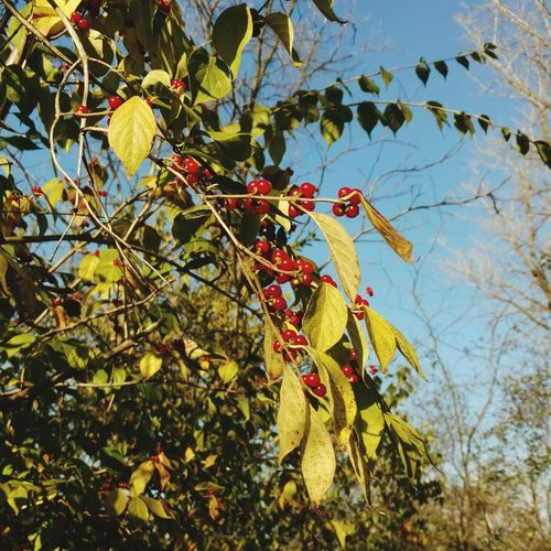 Nature Growth Tree Sunlight Branch Low Angle View Fruit Beauty In Nature Leaf No People Day Outdoors Sky Close-up Freshness