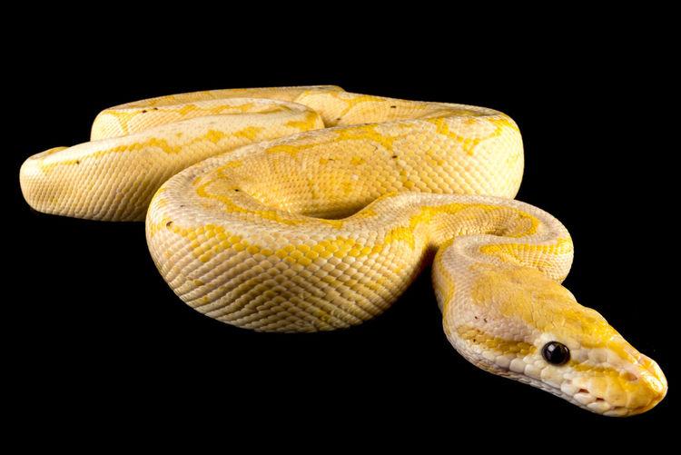 Ball Python Banana Black Background Isolated Reptile Snake Animals Banana Ball Python Boa Burmese Python Isolated On Black Python Reptiles Snakes