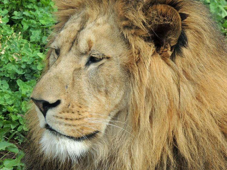 Leo Lion Zoo Der Löwe Lev