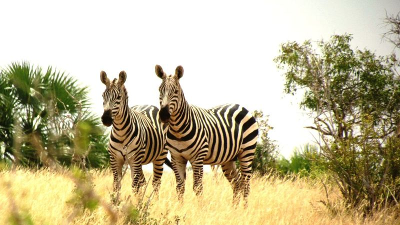 Zebra Stripes Photonature  Kenya Safary Onlythehorses Two Hearts Wonderful Nature Taking Photos Canon500d Darling♡