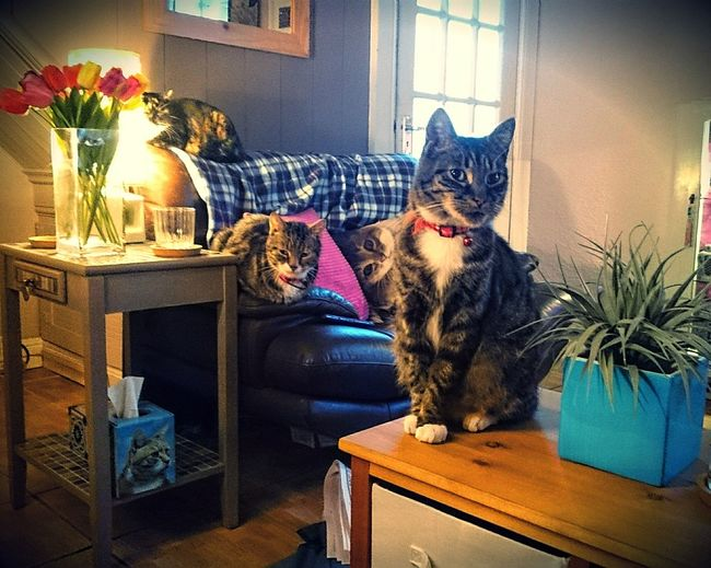 Sugar Plum, Tigger and Dexter Cats Cats Of EyeEm Cats Relaxing Tabby Cats Tortoiseshell Cat Cat Friends Cats Chilling Best Buddies  Home Is Where The Art Is