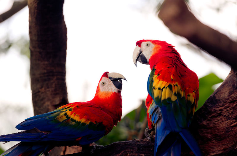 Low angle view of scarlet macaws on tree
