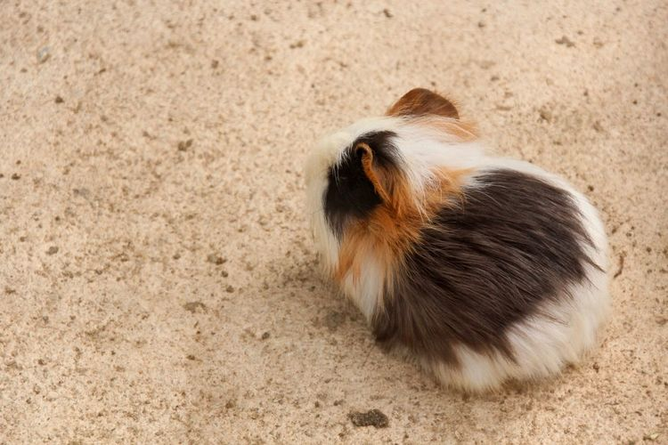 High angle view of cute guinea pig on footpath