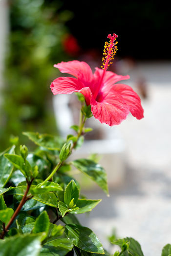 Close-up of a Hibiscus blossom flower outdoors Flowering Plant Hibiscus 🌺 Bloom Blooming Blooming Flower Close-up Flower Flower Collection Flower Head Flowering Plant Freshness Growth Hibiscus Hibiscus Close-up Hibiscus Flower Hibiscus Red In Bloom Nature No People Outdoors Petal Plant Plant Part Red Red Flower