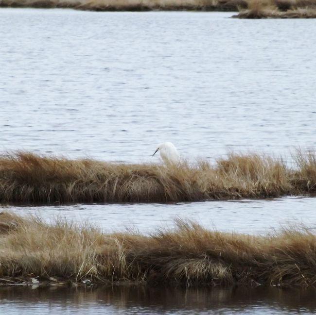 Whitebird Mainewildlife Maine Crane Marsh Scarborough Marsh Bird Photography BirdInWater Dull But Beautiful Oceanside