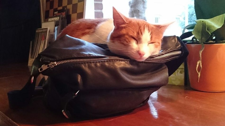Puck, de kat van het WG cafe in Amsterdam heeft de perfecte accessoire gevonden om een dutje op te doen. Puck, Cafe Cat at the Wg Cafe in Amsterdam has found the Purrfect Accessory for the Mid Evening Nap the Handbag  of a Patron . Fashionista Cat Lovers (c) 2016 Shangita Bose All Rights Reserved Showcase April Telling Stories Differently Nature's Diversities Night Night, Sleep Tight Always Be Cozy
