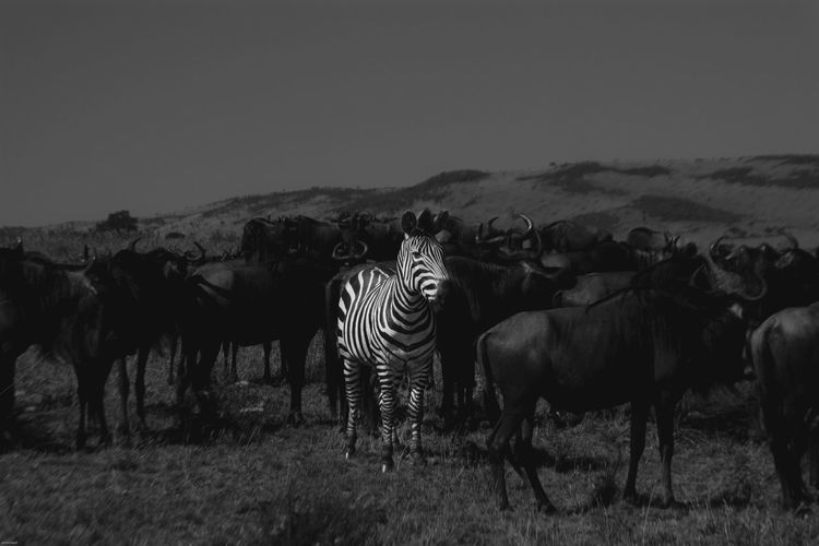 zebra amongst Wilde beasts in the maasai Mara Zebra Stripes Black And White Zebra Portrait Rural Scene Zebra Looking At Camera Sky Landscape Safari Animals Wildebeest Animal Migration East Africa Kenya Masai Mara National Reserve Herd Safari Tanzania
