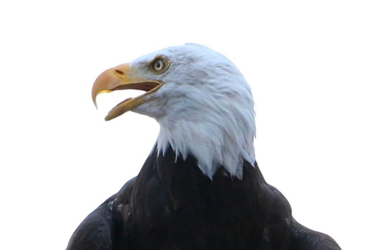 Close-up of eagle against clear sky