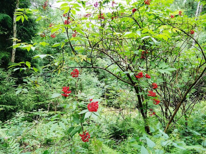 Red Fruits in nature Red And Green Red Red Fruits Bush Bushes Bushes And Trees Forestwalk Forest Forest Photography Forest Fruit Sorpetal Sorpesee Sorpetalsperre Sundern  EyeEm Nature Lover Trees And Leaves EyeEm Best Shots - Nature EyeEm Nature Collection