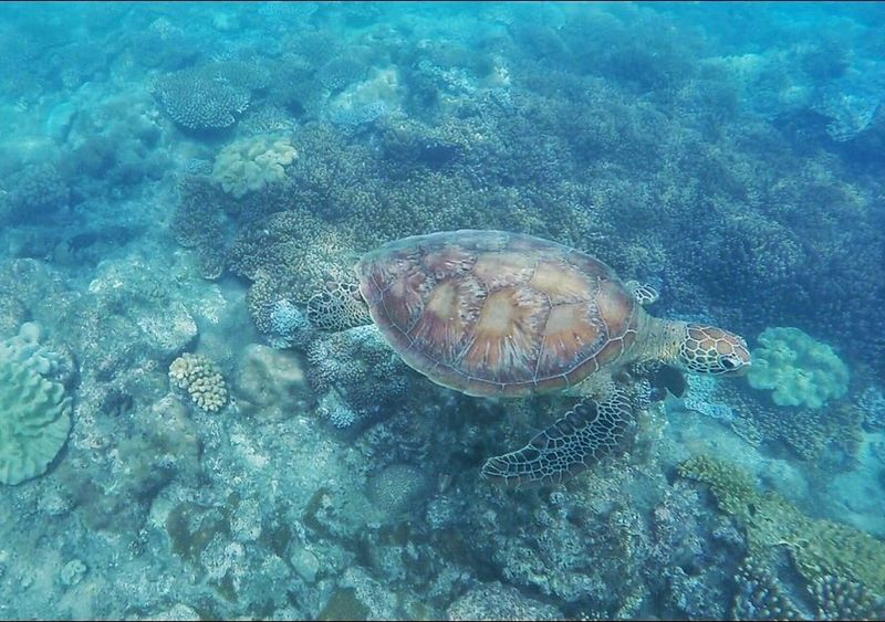 Airliebeach Whitsunday Islands Whitsundays Greatbarrierreef Reef Underwater Coral Turtle Reptile Nature Nature_collection Animal Themes Water Sea Life One Animal Sea Turtle No People UnderSea Beauty In Nature
