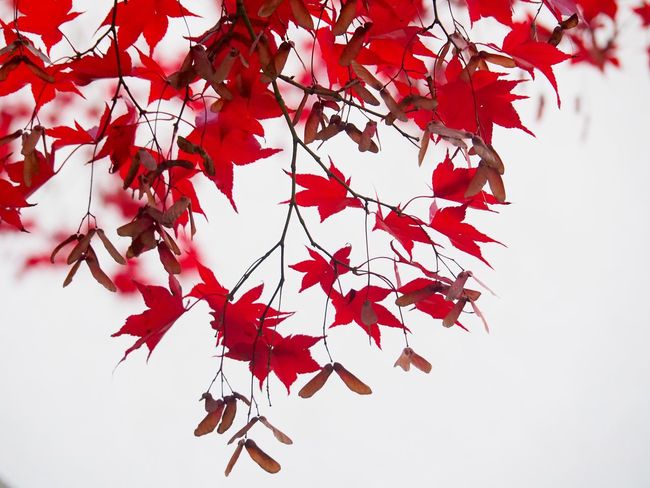 Change Leaf Autumn Maple Leaf Leaves Maple Tree Maple Nature Beauty In Nature Tree Branch No People White Background Low Angle View Day Close-up Outdoors Growth