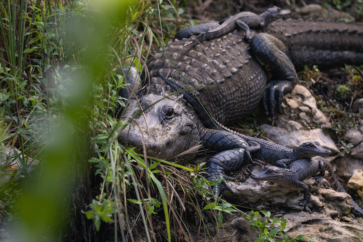 Close-up of alligator with babies on riverside
