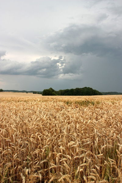 The storm comes Summertime Agriculture Beauty In Nature Cereal Plant Cloud - Sky Crop  Day Ear Of Wheat Farm Field Gold Colored Growth Landscape Nature No People Outdoors Scenics Sky Storm Cloud Tranquil Scene Tranquility Upcoming Storm Wheat Lost In The Landscape