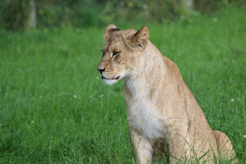 Grass One Animal Animals In The Wild Animal Themes Day Mammal Lioness Lion - Feline No People Outdoors Nature Safari