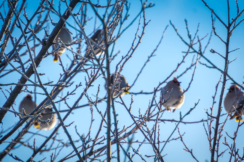 Wintertime Animal Animal Themes Animal Wildlife Animals In The Wild Bare Tree Bird Branch Day Focus On Foreground Group Of Animals Low Angle View Nature No People Outdoors Perching Plant Sky Tree Vertebrate Waxwing Waxwings Winter
