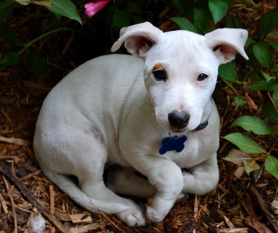 Puppy's First Portrait EyeEmNewHere Jack Russell Pets Domestic Animals Animal Themes Dog One Animal Mammal Looking At Camera Portrait Relaxation No People Leaf Lying Down Day Sitting Outdoors Close-up