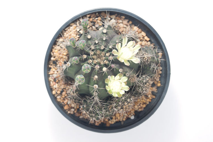 Top view of cactus with small blooming flowers Cacti Desert Beauty In Nature Botanical Botany Cactaceae Cactus Directly Above Dry Flower Flower Head Flower Pot Flowering Plant Fragility Freshness Garden Growth High Angle View Houseplant Nature Petal Plant Potted Plant Succulent Plant White Background