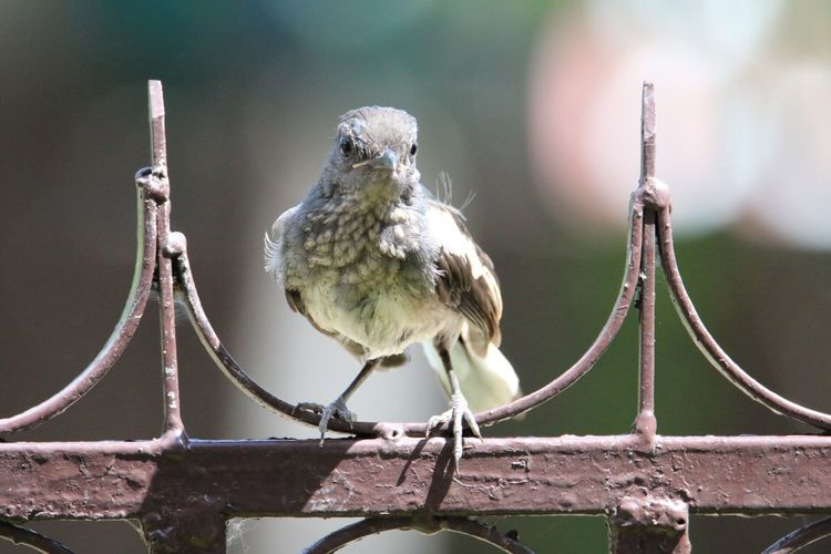 Close-up of bird perching on metal gate
