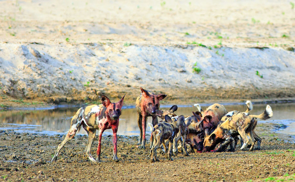 African Wildlife Game Drive Painted Dog South Luangwa National Park Wildlife & Nature Wildlife Photography Africa Day Dog Exciting Mammal Nature Once In A Lifetime Experience Outdoors Safari Safari Animals Togetherness