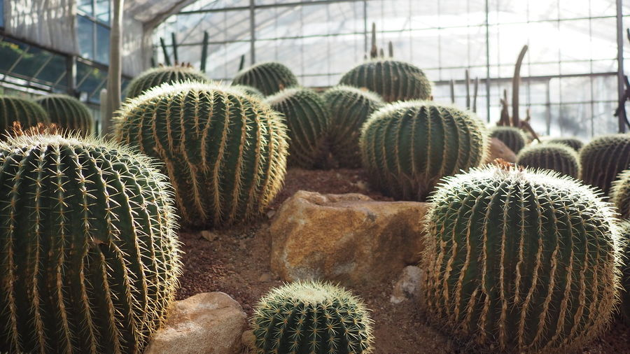 Close-up of cactus plants in greenhouse