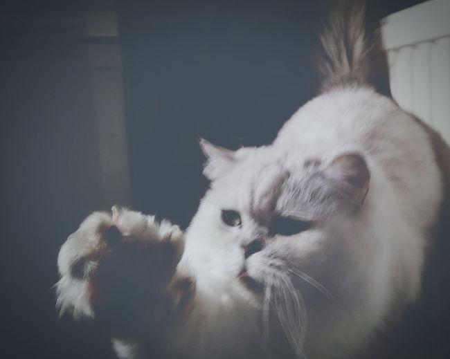 Cat's Eyes EyeEm Eyes My Cat Freddie Cat Feline Pet Whiskers Paw Out Giz A Paw