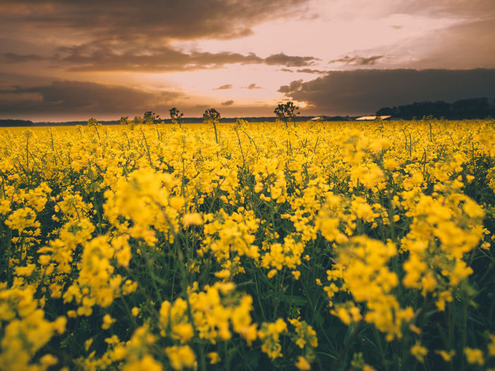 Scenic view of oilseed rape field against sky during sunset
