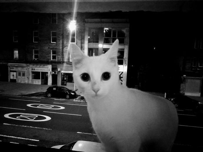 Cat Streetcat