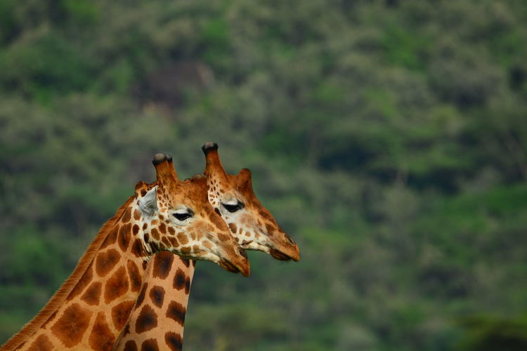 Close-up of giraffe