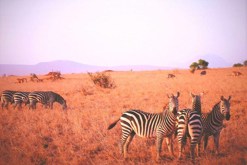 Zebras On Landscape Against Clear Sky