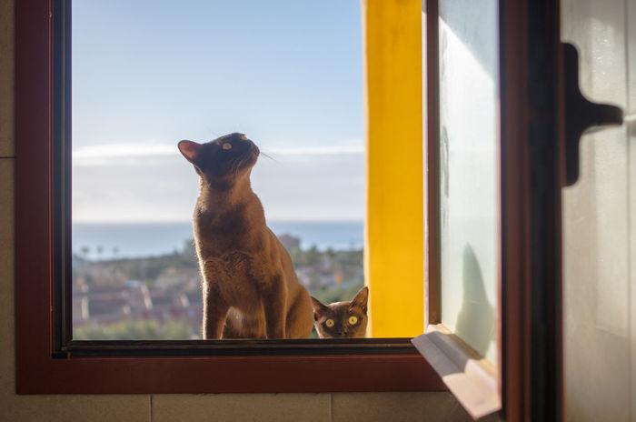 Brown Burmese Brown Cat  Burmese Cat Cat Curiosity Day Domestic Animals Domestic Cat Feline Looking Through Window Pets Sky Window