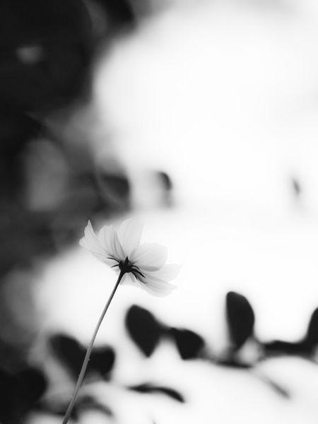 パトラッシュ、疲れたろう。僕も疲れたんだ…なんだか、とても眠いんだ… Flower Cosmos Cosmos Flower Fragility Petal Freshness Flower Head Plant No People Outdoors Day Close-up Blackandwhite Monochrome Monochrome Photography Tokyo Street Photography Olympus OM-D E-M5 Mk.II