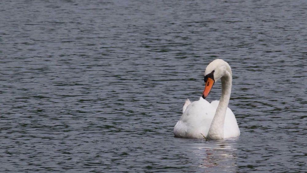 Swan Connecterra Animals In The Wild Bird Water Swan Nature