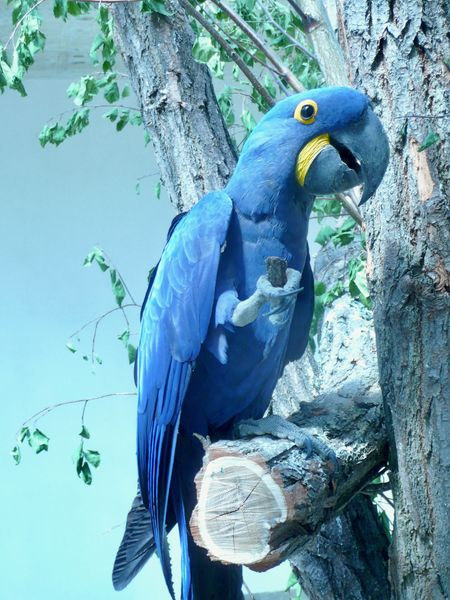 Large Parrot Pet Portraits Animal Themes Animal Wildlife Beauty In Nature Bird Blue Close-up Hyacinth Macaw Macaw No People One Animal Outdoors Perching Tree
