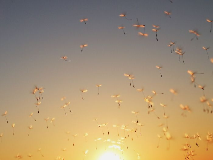 Low angle view of dandelion seeds blowing against sky during sunset