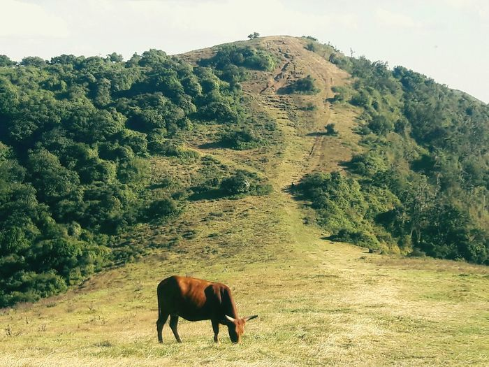 In the hills NgongHills Nature EyeEmNewHere Tree Grazing Sky Livestock Landscape Farm Animal Cow Highland Cattle Herbivorous Livestock Tag Domesticated Animal Tag Working Animal Horned Cattle Domestic Cattle