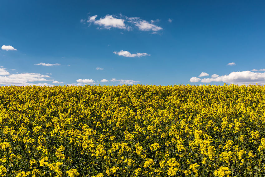 Agriculture Beauty In Nature Blue Sky Clouds Copy Space Day Field Flower Fragility Freshness Growth Landscape Nature No People Oilseed Rape Outdoors Plant Rural Scene Scenics Sky Spring Sunny Tranquil Scene Tranquility Yellow