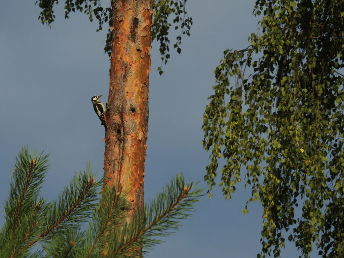 View of woodpecker on tree