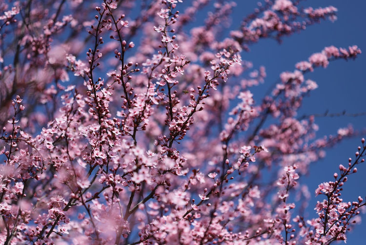 Close-up of cherry blossoms in spring