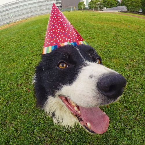 Happy birthday Foo Cuteness Dog With Hat Birthday Cute Pets Cute Dog  Border Collie One Animal Mammal Animal Themes Pets Dog Canine Animal Domestic Animals Grass Close-up Green Color