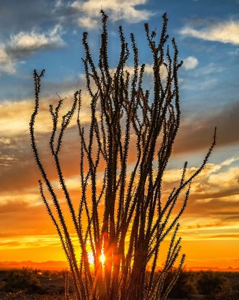 Sunset Sky Nature Silhouette Beauty In Nature Cloud - Sky Dramatic Sky Outdoors No People Sun Scenics Growth Day Close-up Landscape AZ Tranquility Lake Arizona Arizona Highways Yuma Ocotillo Ocotillo Cactus
