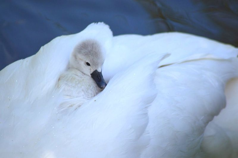 Cygnet Baby Swan Swan Bird Photography Catching A Ride Feathers Cute Minimalism RePicture Motherhood