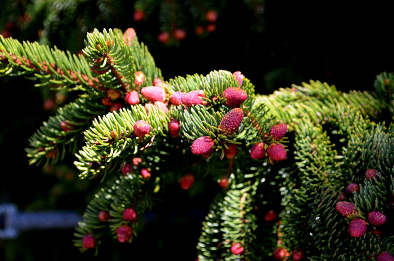 Pinaceae Green