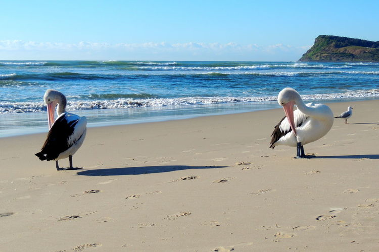 Pelicans of Australia Australia Beach Bird Bird Photography Blue Color Colour Colours Nature Nature Photography Ocean Pelican Pink Sand Sea Sea And Sky Seascape Seaside Sky Water Wild Wildlife