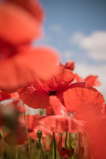 Wheat Wheat Field Poppy Flowers Nature Nature_collection Nature Photography Naturelovers Poppy Fields Red Color RedFlower Flower Head Flower Poppy Red Defocused Leaf Tree Sky Close-up Plant In Bloom Plant Life Petal