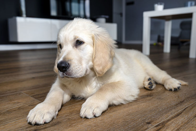 Dog lying on floor at home