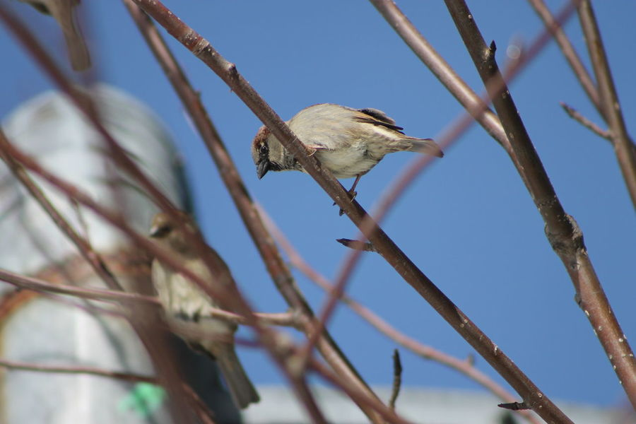 House sparrow Animal Themes Animal Wildlife Animals In The Wild Beauty In Nature Bird Branch Close-up Day House Sparrows Low Angle View Nature No People One Animal Outdoors Perching Saguenay, Québec, Canada Selective Focus Sparrow Tree The Great Outdoors - 2017 EyeEm Awards Pet Portraits EyeEmNewHere The Week On EyeEm