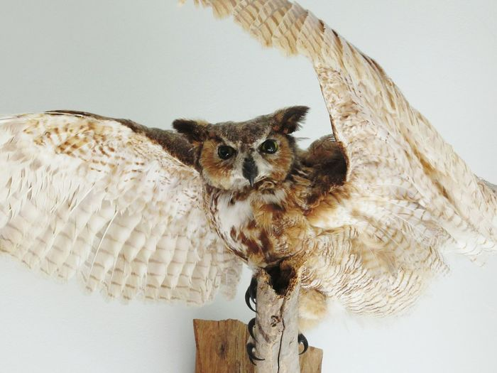 Owl taxidermy on white wall
