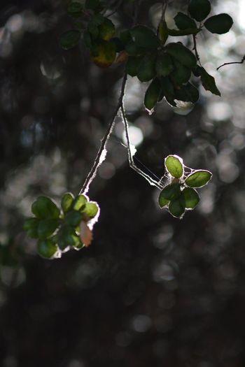 Live Coastal Oaks Oak Live Oak Leaves Bokeh Branch Beauty In Nature The Purist (no Edit, No Filter) Kit Carson Park